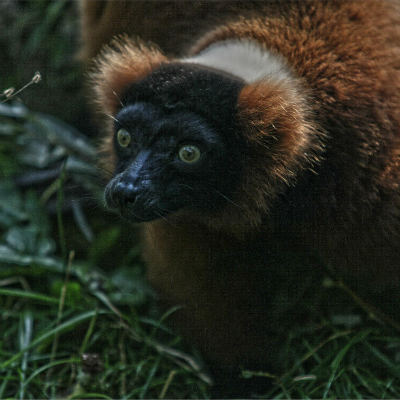 <strong>The red ruffed lemur (Varecia rubra) CRITICALLY ENDANGERED in the IUCN Red List</strong>