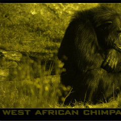 <strong>The Western chimpanzee or West African chimpanzee ENDANGERED in the IUCN Red List</strong>