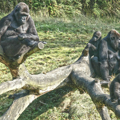 <strong>Western Lowland Gorilla Family CRITICALLY ENDANGERED in the IUCN Red List</strong>