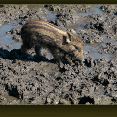<strong>Young wild boar, also known as wild pig LEAST CONCERN in the IUCN Red List</strong>