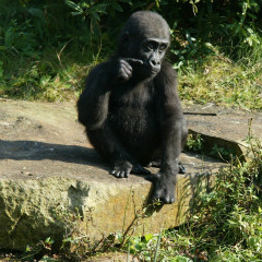 <strong>Juvenile Western Lowland Gorilla CRITICALLY ENDANGERED in the IUCN Red List</strong>