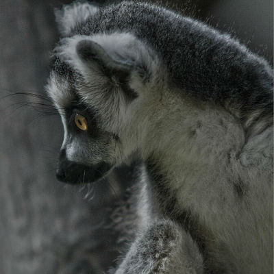 <strong>Young ring-tailed lemur NEAR THREATENED in the IUCN Red List</strong>