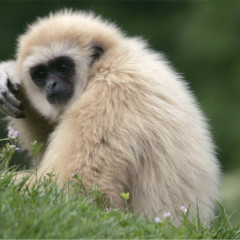 <strong>Lar Gibbon, also known as the white-handed gibbon ENDANGERED on the IUCN Red List</strong>