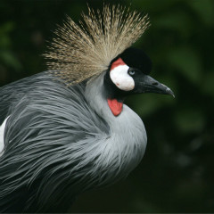 <strong>Grey Crowned Crane ENDANGERED in the IUCN Red List</strong>
