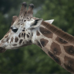 <strong>Giraffe LEAST CONCERN on the IUCN Red List</strong>