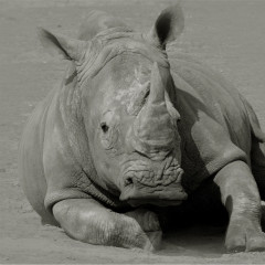 <strong>The white rhinoceros or square-lipped rhinoceros NEAR THREATENED on the IUCN Red List</strong>