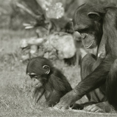 <strong>Chimpanzee Mother and Child ENDANGERED in the IUCN Red List</strong>