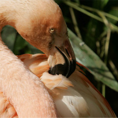 <strong>Chilean Flamingo NEAR THREATENED on the IUCN Red List</strong>
